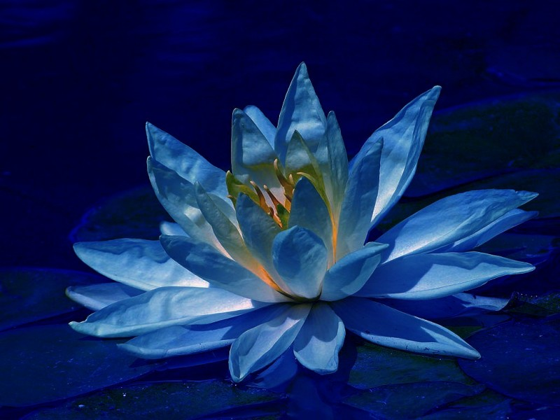 lotus-in-blue-beautiful-31000